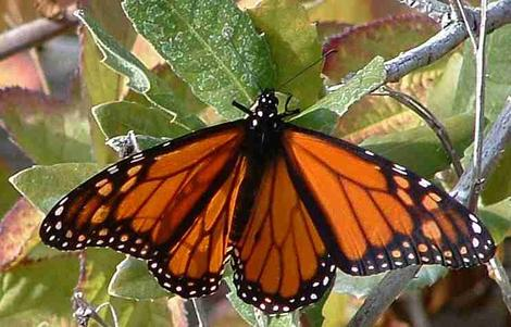 Monarch Butterfly, Danaus plexippus sunning after emerging  - grid24_12