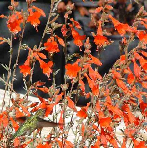 Zauschneria californica Catalina, AKA Epilobium canum, Catalina with an Anna Hummingbird  - grid24_12