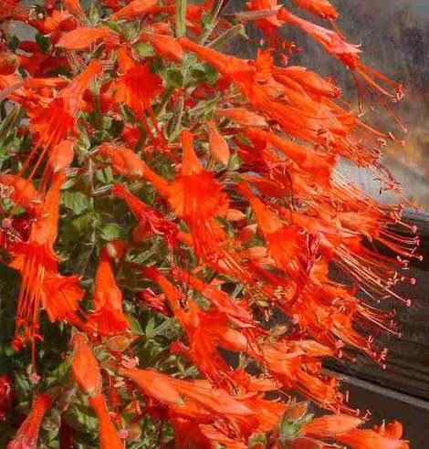 Zauschneria latifolia johnstonii in flower. This California fuchsia makes a great show in late summer