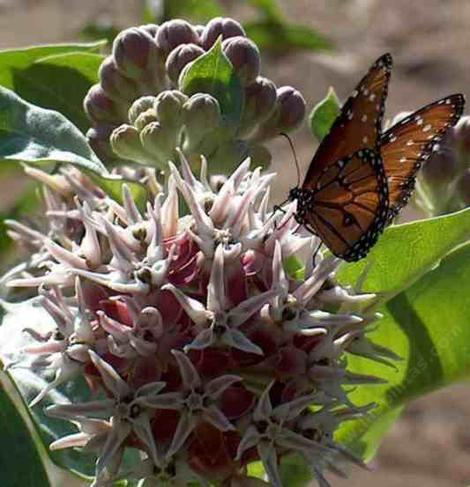 Striated Queen Butterfly, Danaus gilippus strigosus on a Showy milkweed - grid24_12