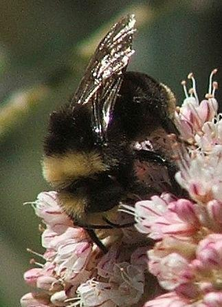 Bumblebee on Buckwheat flowers. - grid24_12