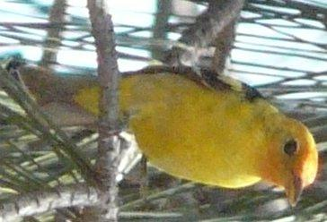 Western Tanager watching - grid24_12