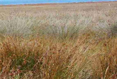 Salt marsh Rushes out in Morro Bay - grid24_12