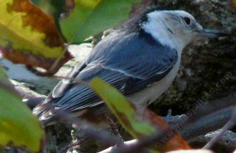 White Breasted Nuthatch - grid24_12
