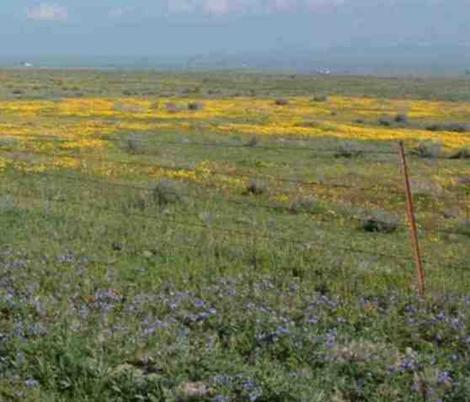 an old photo of California Valley, the north end of Carrizo plains in flower - grid24_12