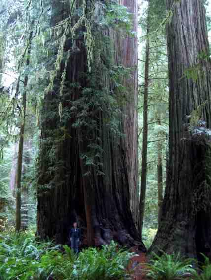 Coast Redwood trees are big! This one is maybe 25 ft across. - grid24_12