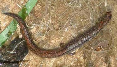 Batrachoseps nigriventris, Black-bellied Slender Salamander - grid24_12
