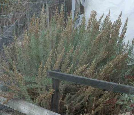 California Sage brush, Artemesia californica - grid24_12