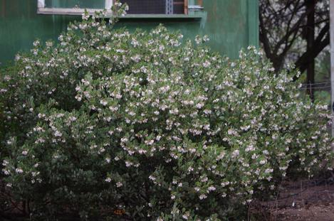Arctostaphylos obispoensis San Luis Obispo Manzanita on a cold winter morning