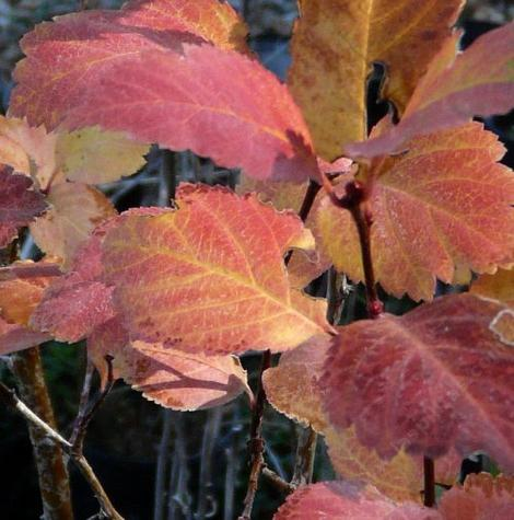 Crataegus douglasii, Western Thorn Apple fall leaves - grid24_12