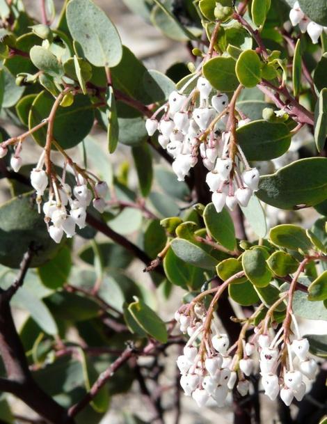 White Leaf manzanita, Arctostaphylos viscida, with flowers. notice  the nectar robbing bees have eaten a hole into each flower. - grid24_12