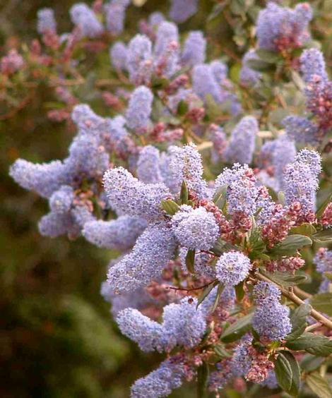 Ceanothus LT blue flowers has red blue flowers