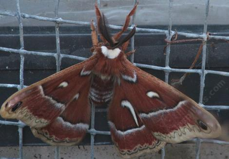 This silk moth was on the screen next to an evaporative cooler. The squares are about 1/2 inch across. - grid24_12