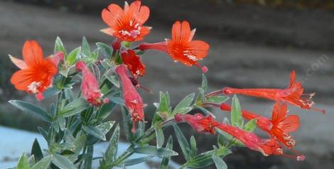 This California fuchsia grows in the mountains up to about 7000 ft. - grid24_12