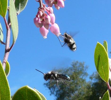 The Mason bee is in green one. The Beefly is the fuzzy hover one. Neither are any bother for us, we we bother them if we get too close. Both were pollinating  manzanita  flowers. - grid24_12
