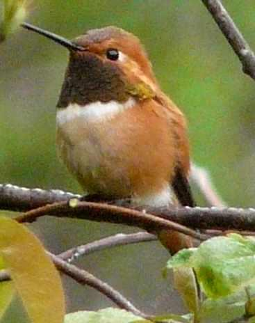 Rufous Hummingbird