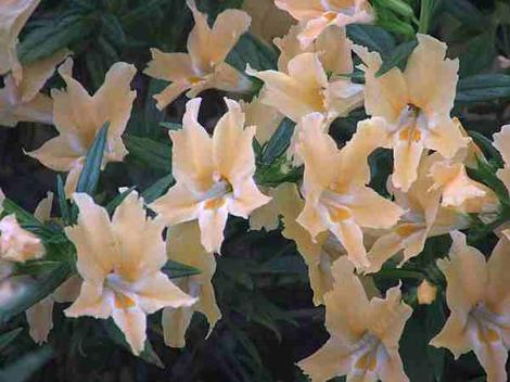 Spunky Agoura Monkey makes a beautiful peachy mound. hard to believe this grows in dry Southern California. This Monkey Flower  is sometimes called Mimulus aurantiacus, which is what they call almost all the monkey flowers. It's like everyone is Bob and Mary. - grid24_12