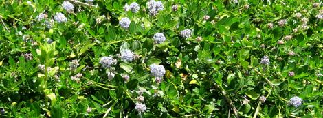 Ceanothus thyrsiflorus repens makes a very nice groundcover in part shade. Will work in hot areas in nearly full shade. Full sun in cool coastal areas. Great between buildings in the 'gap'. - grid24_12
