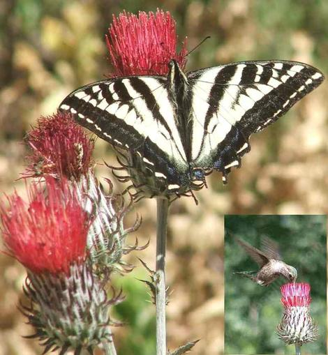 A Pale Swallowtail butterfly sipping nectar from the red flowers of Cirsium occidentale var. venustum, Red Thistle.