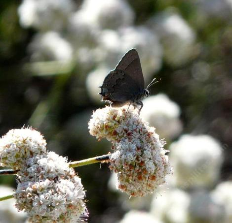 California Buckwheat,the foliolosum  subspecies of  Eriogonum fasciculatum with a Hairstreak butterfly.