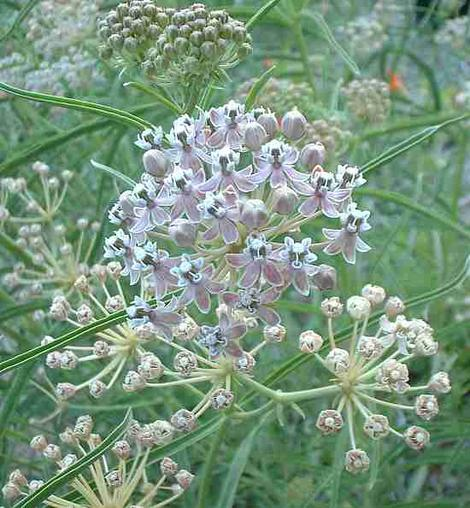 Asclepias fascicularis, Narrow-leaf milkweed flower - grid24_12