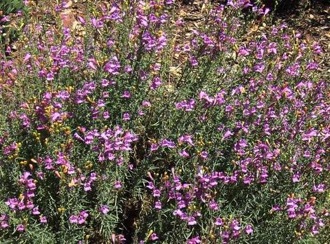 Penstemon heterophyllus, Foothill Penstemon has flowers that vary from almost pink to deep blue. Same plant, different years. - grid24_12
