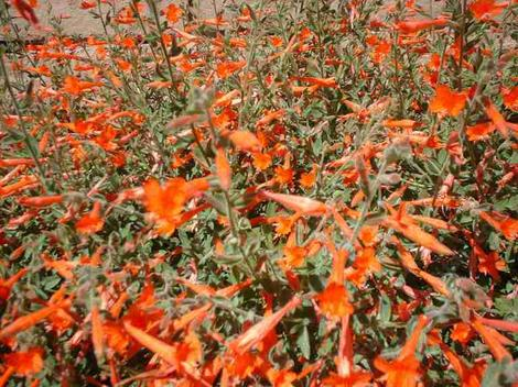 California fuchsia, aka, Zauschneria californica mexicana, AKA Epilobium canum mexicanum flowers growing on a foot high suckering ground cover. California fuchsia likes to be mowed to the ground in January. - grid24_12