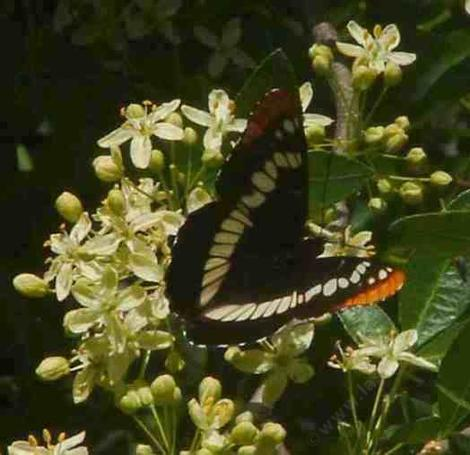 Lorquin's Admiral on Ptelea flower. - grid24_12