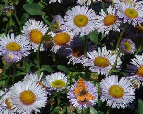 Erigeron Wayne Roderick Daisy with a small butterfly - grid24_12
