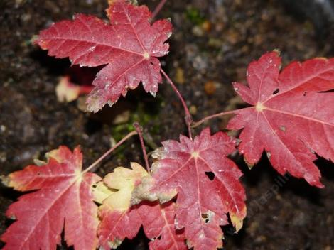 Acer circinatum Vine Maple with fall color - grid24_12