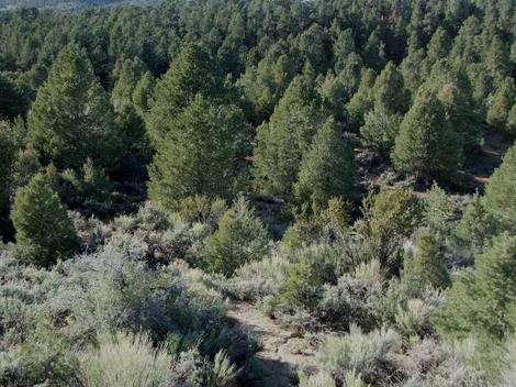 Here is the the habitat of Purshia stansburiana, Cliff Rose, showing also Pinus monophylla, and Artemisia tridentata, in the area of the eastern Sierra Nevada mountains of California.  - grid24_12