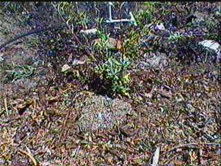 an old photo of a mulched Sage - grid24_12