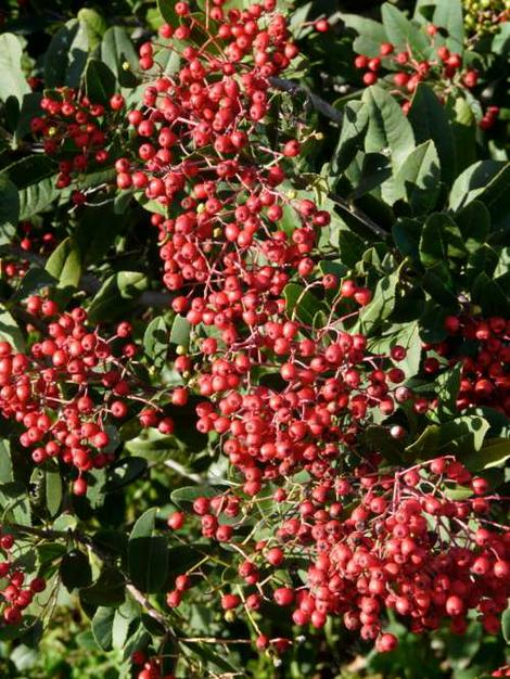 We seldom see Toyon berries this ripe here, the birds eat them when they are still green. - grid24_12