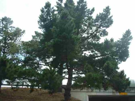 Pinus radiata,  Monterey Pine,  is a popular tree in California landscapes, though it grows best along the immediate coast.