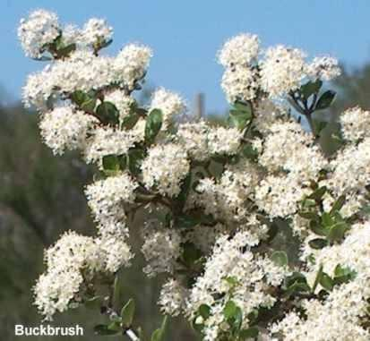 Ceanothus cuneatus, buckbrush flowers are fragrant and a favorite for many insects.  - grid24_12