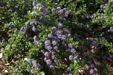 Ceanothus prostratus grows along the Northern California coast and Middle Sierras up into Washington State.