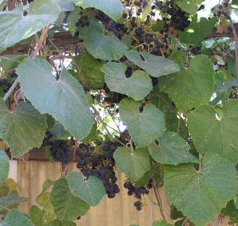 Vitis girdiana, Southern California Grape used to grow all around San Diego, Orange and Riverside counties.