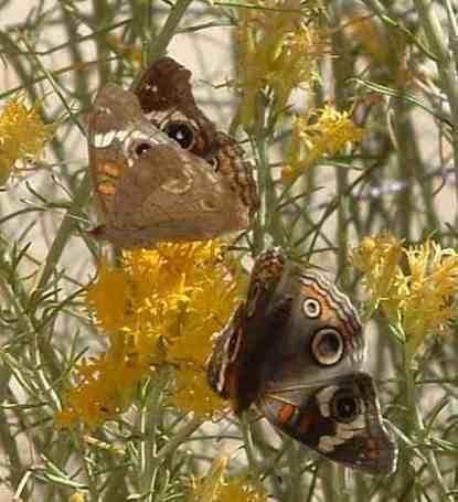 Two Buckeye Butterflies on a Rabbitbrush flower. - grid24_12