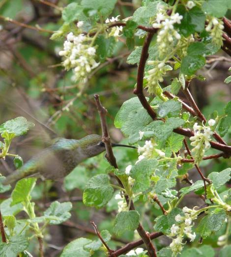 An Anna Hummingbird working the flowers of White currant, Ribes indecorum - grid24_12