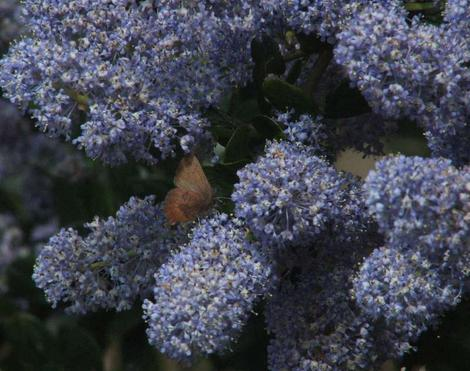 Ceanothus Remote Blue with a Brown Elfin butterfly. - grid24_12