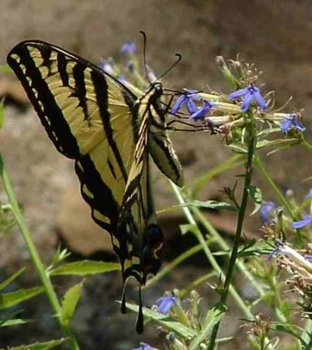 Amazingly, the Lobelia dunnii var. serrata, Dunn's Lobelia, is not being bent over by the weight of a visiting Pale  Swallowtail butterfly in the Santa Margarita nursery.  - grid24_12