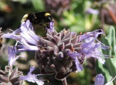 A Bumblebee on a Salvia Pozo Blue - grid24_12