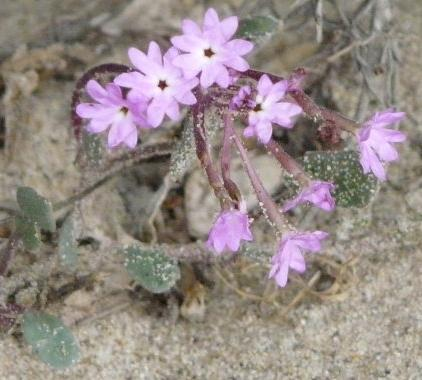 Abronia umbellata, Purple Sand Verbena flowers