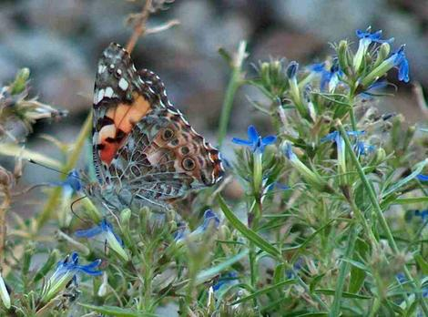 Painted lady butterfly on a Lobelia dunii - grid24_12