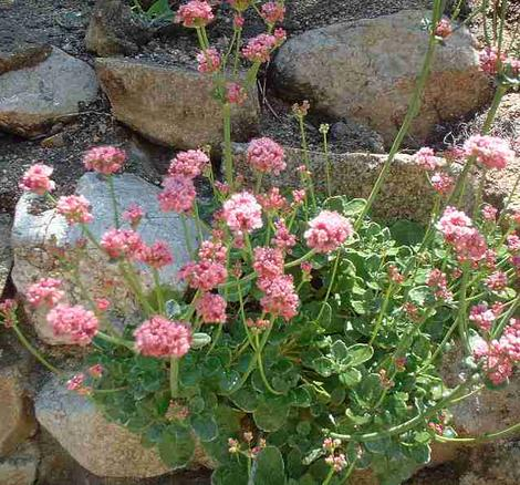 Rosy or red Buckwheat, Eriogonum grande rubescens