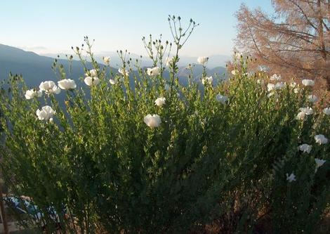 Romneya coulteri,  Matilija Poppy thicket