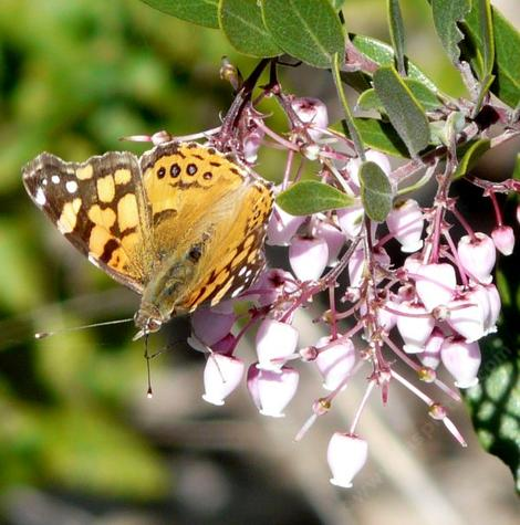 A painted lady butterfly on a Sentinel manzanita flower - grid24_12
