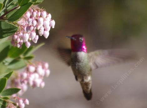 Arctostaphylos Ian Bush with an Anna Hummingbird. This manzanita is easy in most of coastal California.