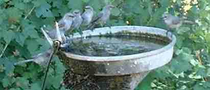 Bushtits taking bath. This bird bath was made by nailing a aluminum pie pan to a wooden post. Use a little piece of plastic or rubber as a washer on the nail to keep it from leaking too much. - grid24_12