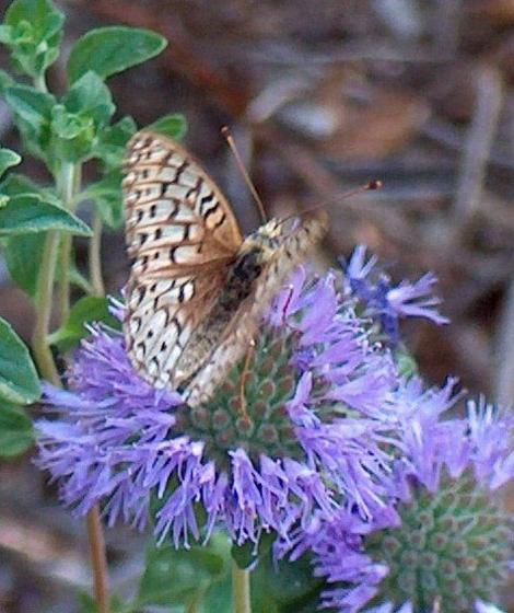 A Monardella villosa with a Comstock fritillary butterfly  on it. - grid24_12
